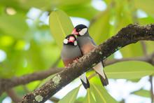 Lovely Birds , Pair Of Java Sp...