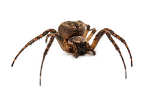 Cross Spider Isolated On White