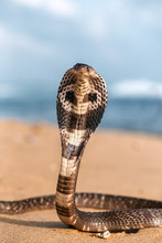 Live Poisonous King Cobra