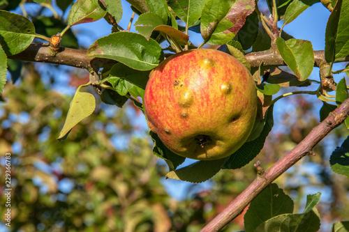Maladie sur pomme
