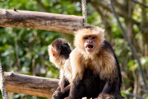 Fotografering  capuchin