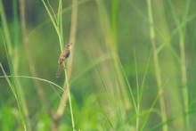 Plain Prinia Bird. Nature Field