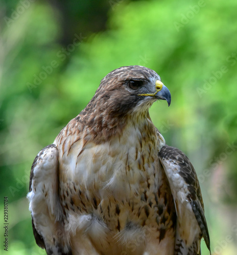 Photo  Red Tailed Hawk Up Close Head Shot