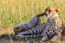 Cheetahs With A Playful Cub Ly...