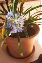 Blue Flower In A Orange Flower Pot