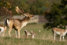 Bellowing Male Fallow Deer Stag With A Herd Of Hinds At Studley Royal, Ripon, North Yorkshire, England, UK.