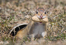 Chipmunk With A Peanut (1)