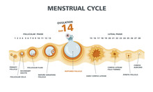 Ovulation Chart. Female Menstrual Cycle