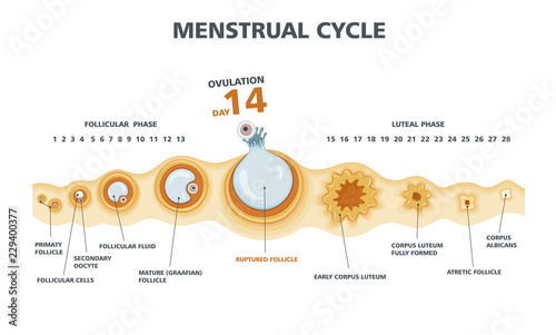 Ovulation Chart Female Menstrual Cycle