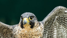 Peregrine Falcon Close Up Of Head And Shoulders Showing Yellow Bill And Eye Reflection