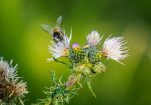 Bee Collecting Pollen From Thi...