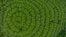 Aerial View Rubber Tree Forest...