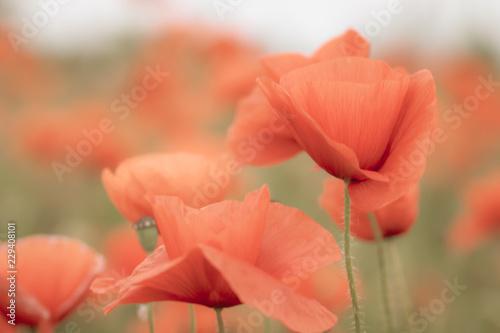 Fototapety, obrazy: Field of poppy flowers