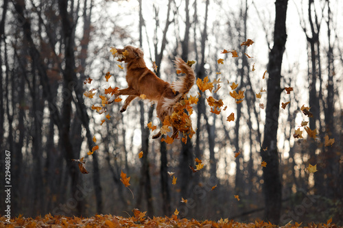 Foto  the dog jumps behind the leaves