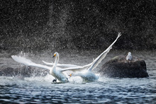 Angry Swan Chasing Another And Splashing Water