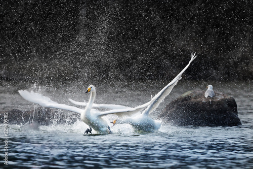 Valokuvatapetti Angry swan chasing another and splashing water
