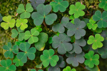 Green Leaves Of Clover Grow In...