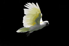 Flying White Sulphur-crested Cockatoo Isolated On Black Background