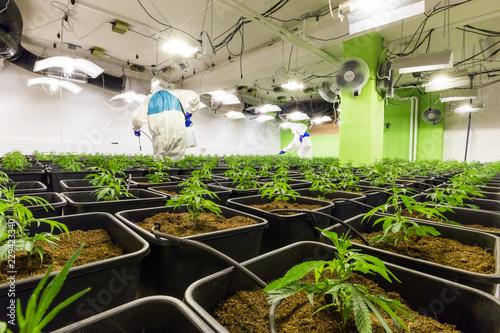 Cannabis Stecklinge in CBD Indoor Anlage