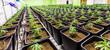canvas print picture - Medizinisches Marihuana Cannabis CBD Indoor Anlage junger Mann pflegt die Marihuana Pflanzen