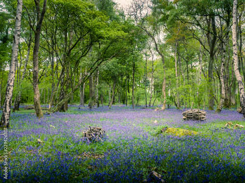 Foto auf Gartenposter Wald A carpet of bluebells across a woodland floor in spring in the UK