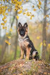 Fototapeta German shepherd puppy sitting on the hill in autumn