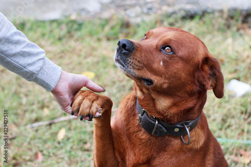 Brown adult dog giving his feet to a feamale hand Canvas Print
