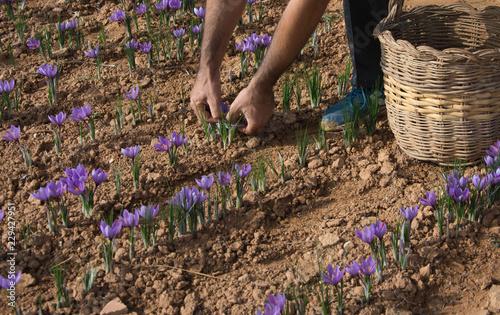 Cultivo del azafrán en campos de España