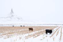 Cows Grazing In Front Of Chimn...
