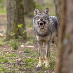 Agressive European grey Wolf square format