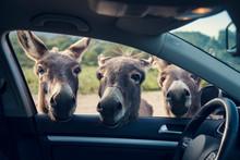Three Funny Donkeys Curiously ...