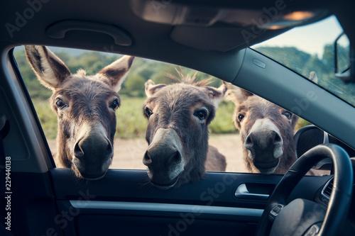 Carta da parati Three funny donkeys curiously looikng to the car