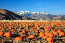 Pumkin Patch In Rural Utah, USA.