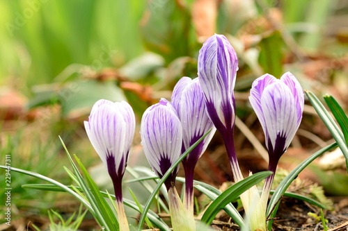 Purple and white crocuses in bloom