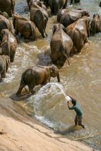 Man Splashing Elephants