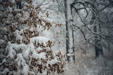 Oak Tree With Dried Leaves Covered In Snow In Front Of Bare Oak Trees During A Snowstorm