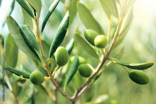 In de dag Olijfboom Olive branch close up