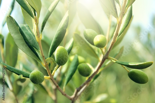 Foto op Plexiglas Olijfboom Olive branch close up