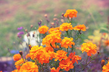 Autumn Orange Flowers On The Ground Tagetis Bloom In A Row Years Natural Plant Selective Focus Blurred Background