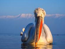 A Dalmatian Pelican (Pelecanus Crispus) On The Surface Of Kerkini Lake, Northern Greece