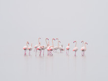 Greater Flamingoes And Dalmatian Pelican , Pelecanus Crispus During Foggy Day