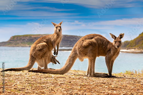 kangaroos with joey on the beach