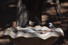 Yellow-rumped Warbler On Birdb...