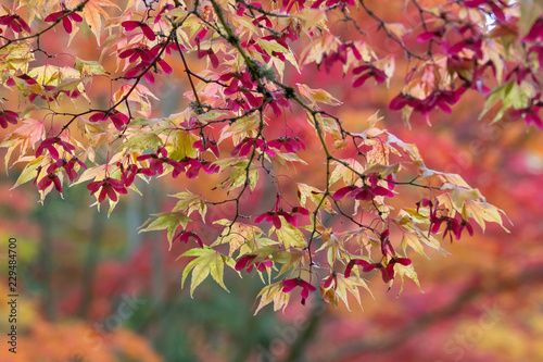 Vibrant fall color in a Japanese garden, Japanese maple leaves and branches back lit by the sun