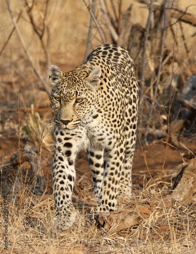 Keuken foto achterwand Luipaard African leopard at Kruger National Park