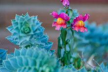 Two Pink Flower Like Two Evil Eyes Grown On Green Cactus Leaves.