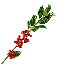 Branch Of European Holly Ilex Isolated On White