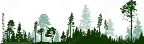panorama of high green fir trees forest on white - 229511106