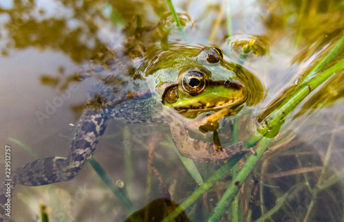 Tuinposter Kikker green frog in water