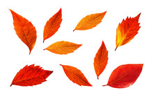 Red Leaves Collage Isolated On White Background, Autumn Foliage